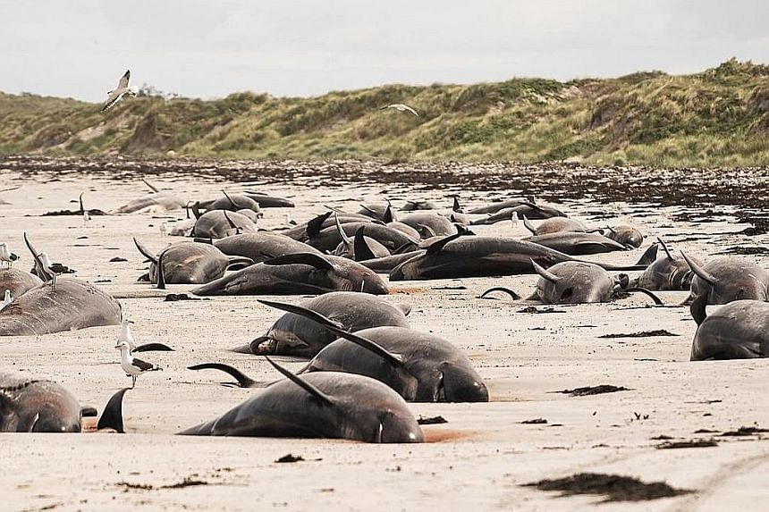 Around 100 pilot whales die in mass stranding in New Zealand