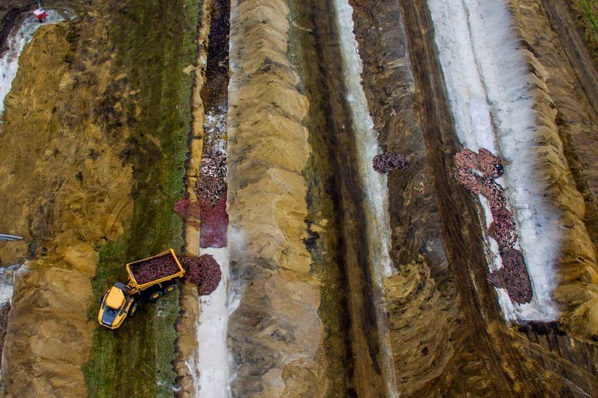 An aerial view taken on Nov 12, 2020 shows thousands of killed mink being buried at Noerre Felding near Holstebro, in Denmark.