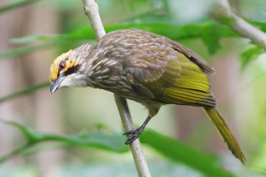 The straw-headed bulbul has been identified for species recovery efforts.