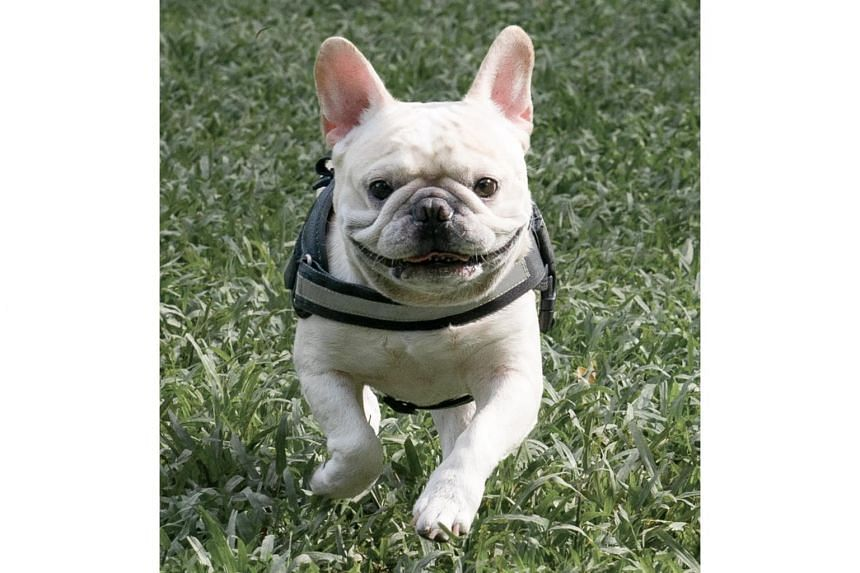 French Bulldogs are susceptible to heat stress since the structure of their heads can affect their ability to pant effectively.