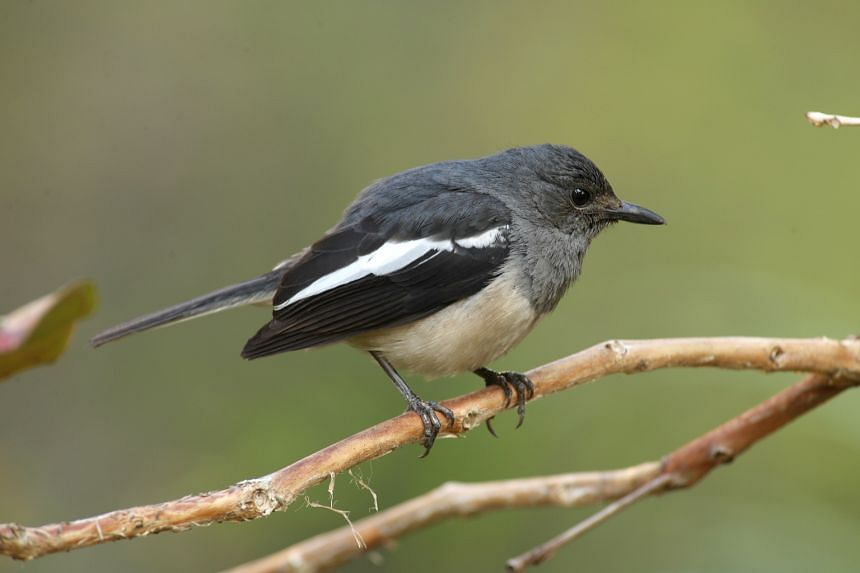 Some of the nationally endangered species found include the Oriental Magpie-robin, which was newly recorded on Pulau Tekukor.