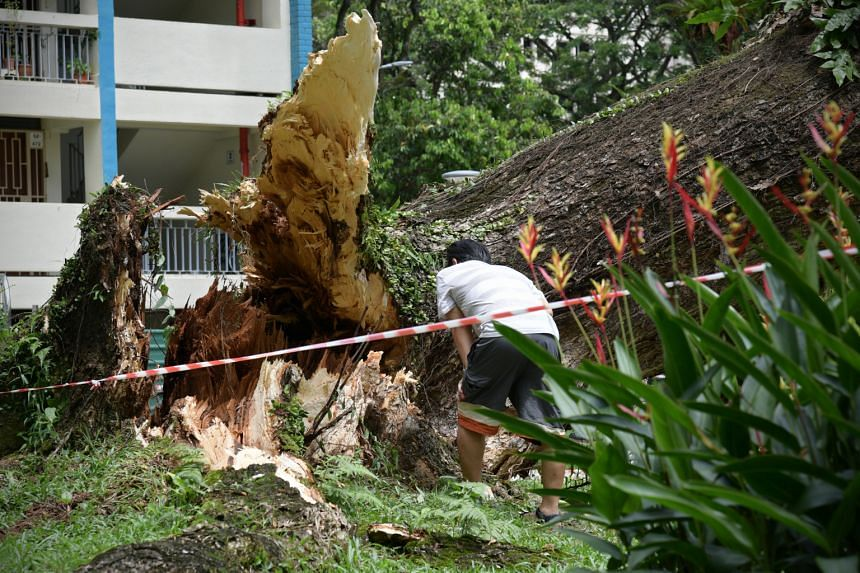 A member of the public examines the base of the fallen tree at Blk 68 Toa Payoh Lorong 4, on Dec 13, 2020.