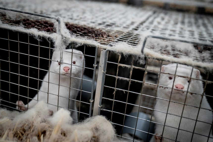 BC SPCA calling for ban on mink farming following COVID-19 outbreak