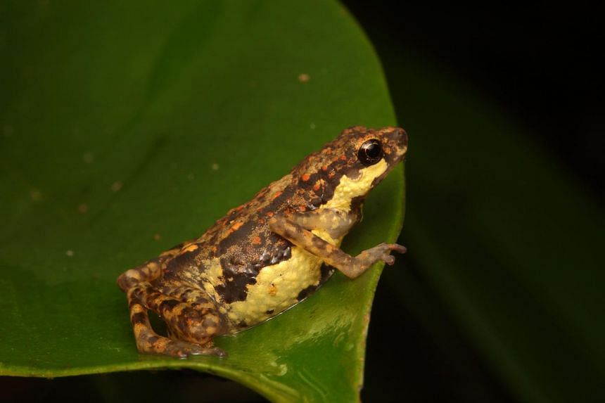 The Inger's Dwarf Toadlet is among the rare species captured in the recordings.