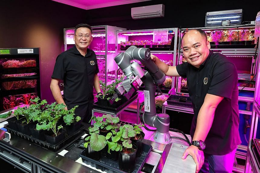 Commonwealth Greens, an urban farm in Singapore set up by agri-tech firm Archisen, grows leafy greens hydroponically along the 2.4m-tall pillars in its grow rooms. When the greens on a pillar mature, the pillar can be moved to a processing room for h
