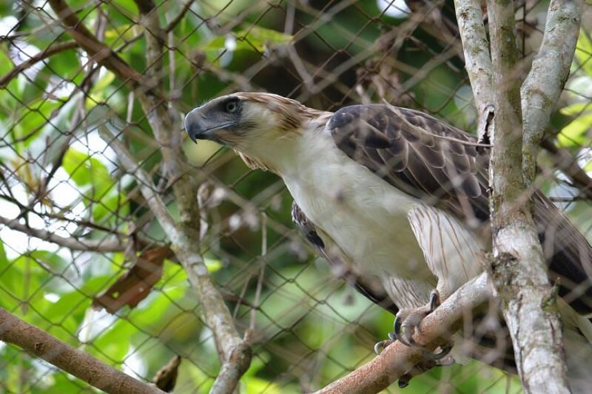 The raptor named Pag-asa or Hope was hatched in 1992 at a sanctuary run by the Philippine Eagle Foundation.