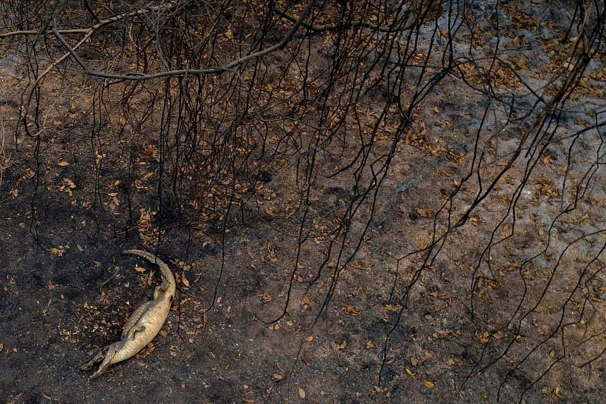 An alligator that fell victim as wildfires raged last September in Brazil, exacerbated by a historic drought.