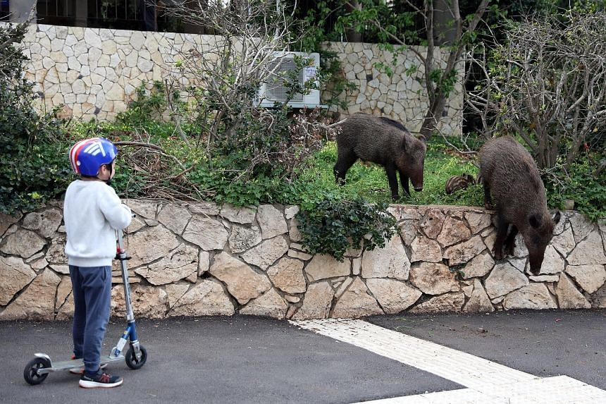 A boy watching as a wild boar family roamed a neighbourhood of Haifa in Israel last April when people stayed home amid Covid-19 restrictions.
