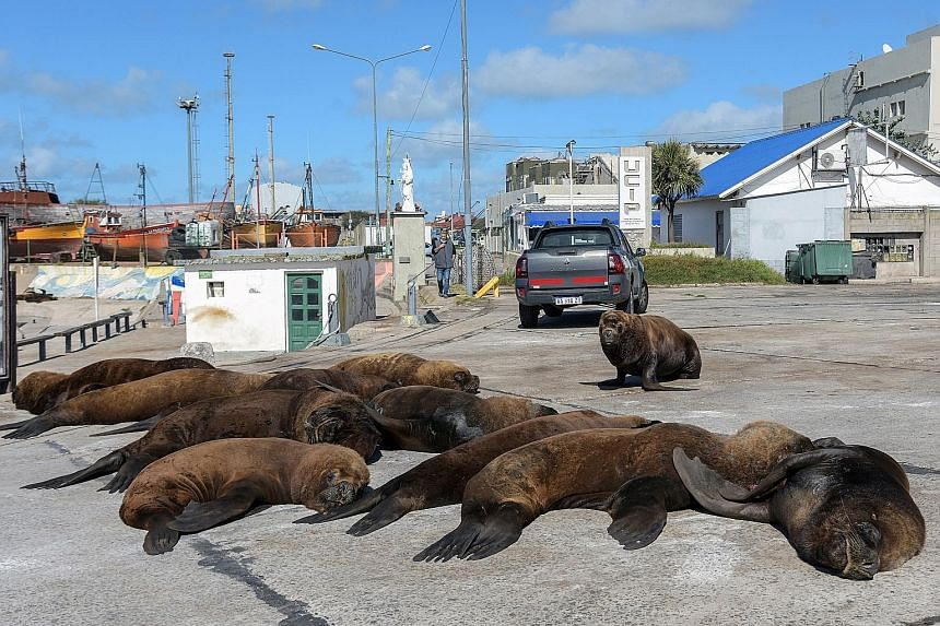 Sea lions making themselves comfortable near the Mar del Plata harbour in Argentina last April during a Covid-19 lockdown, as the absence of people on the streets emboldened animals worldwide to infiltrate the urban landscape.