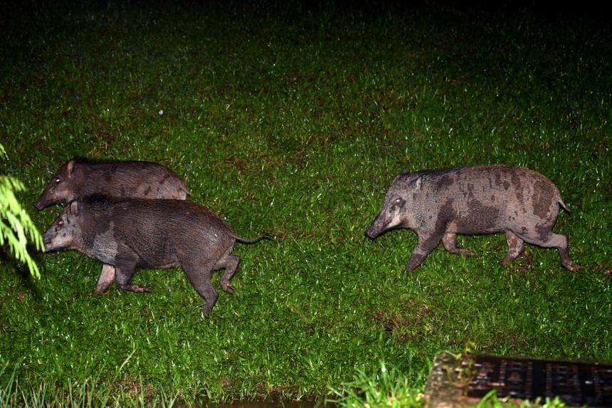 Wild boars in Lorong Halus on Jan 12, 2021.