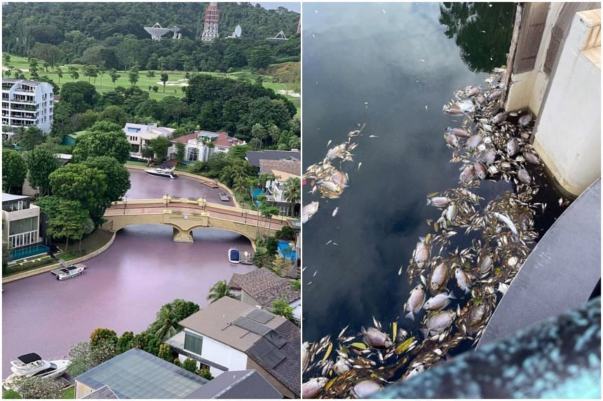 A portion of the waterway running through Sentosa South Cove turned pinkish-purple, after dead fish were found near the banks.