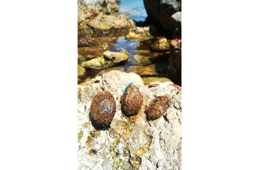 Balls of seagrass fibre known as Neptune balls have been found by researchers to trap plastic waste in the marine environment at the high density of 1,500 plastic bits per kilogram of sea balls.