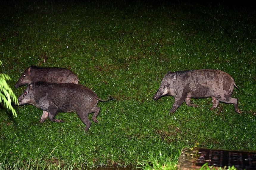 Left: Wild boars spotted in Lorong Halus in Singapore's north-east last Tuesday. ST PHOTO: DESMOND FOO Below: Cake and bread dumped at a feeding hot spot for wild boars in Lorong Halus in 2017. PHOTO: ANIMAL CONCERNS RESEARCH AND EDUCATION SOCIETY