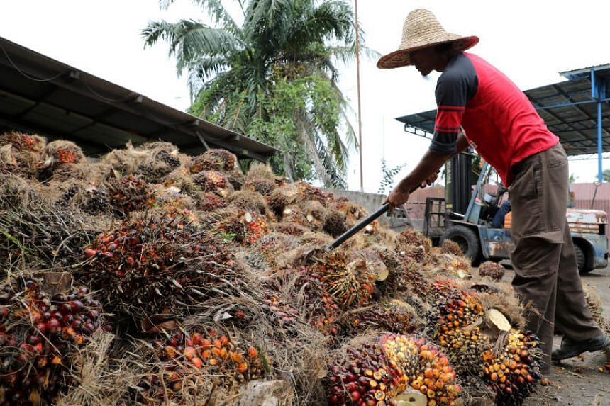 A worker arranging oil palm fruit bunches in Tanjung Karang, Malaysia, on Aug 14, 2020.
