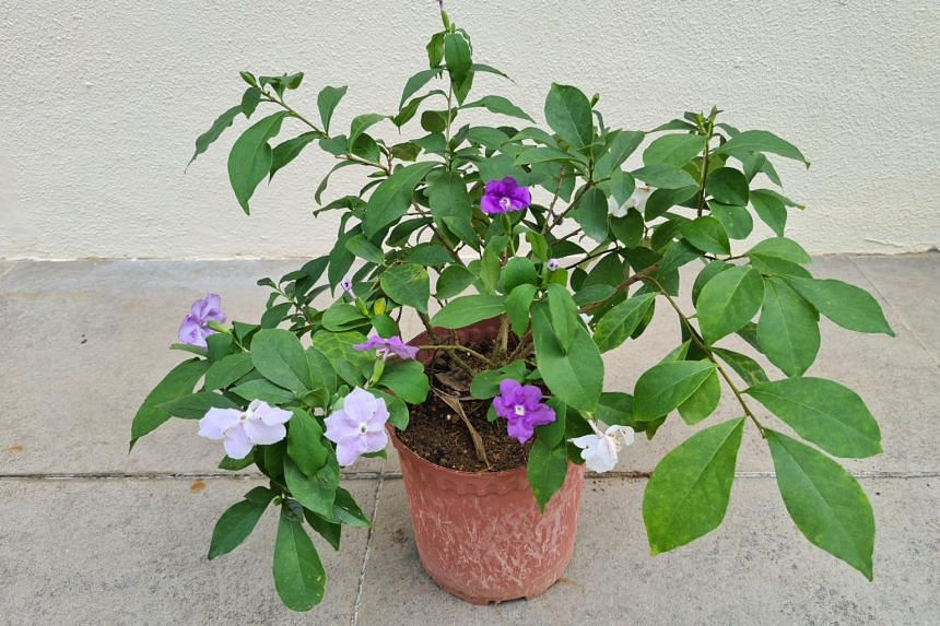 The Brunfelsia pauciflora is commonly known as Yesterday-Today-and-Tomorrow because of the changing colours of the flowers as they age.