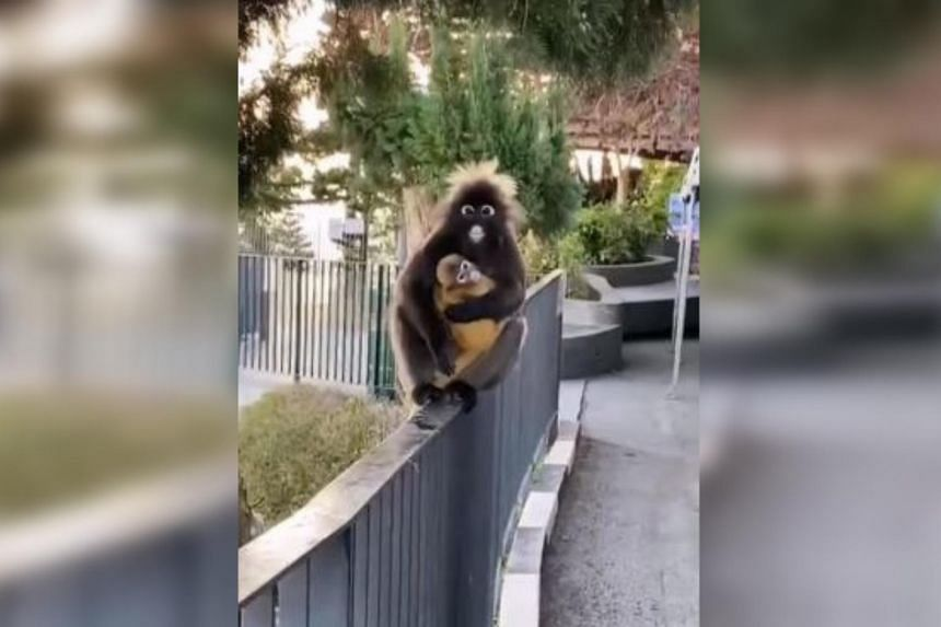 The monkeys were roaming freely as there were no visitors at Penang Hill during MCO 2.0.