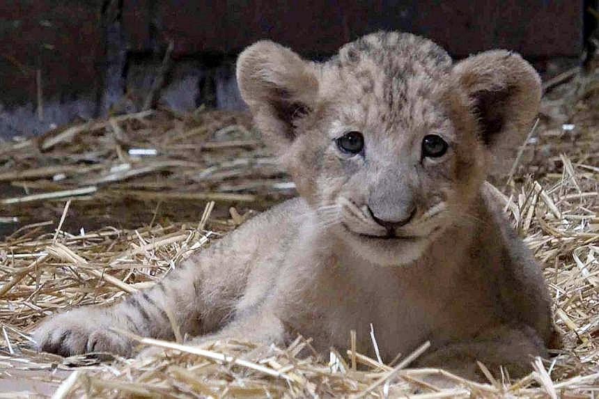 The birth of Simba was the result of the final session to collect semen from a 20-year-old lion, Mufasa, which died at the zoo after his semen was collected. The cub, now three months old, is currently housed in an off-exhibit area with his mother, K