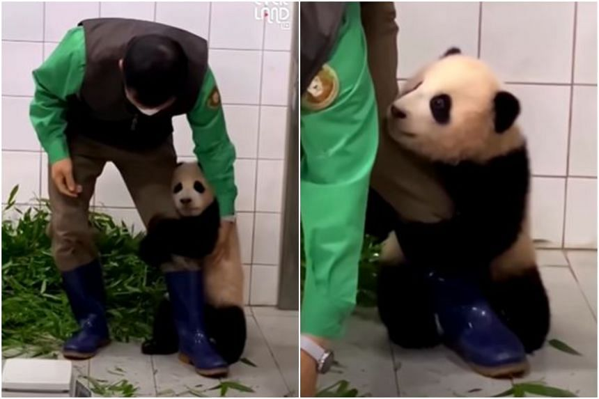 In a video, baby giant panda Fu Bao wraps her front paws around the zookeeper's leg, clinging on even as he tries to walk away.