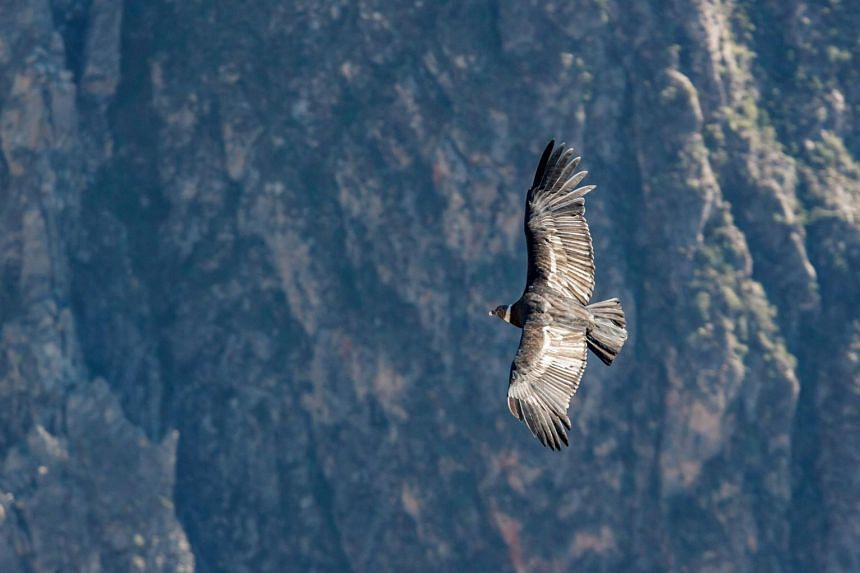 """The International Union for the Conservation of Nature classifies the Andean condor as """"near threatened"""" on its watch list."""