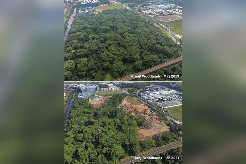 Aerial photos of Kranji woodland taken in May 2019 and this month. The photo taken this month shows a narrow strip of trees near the Rail Corridor, with much of the rest cleared. Beginning at the end of last December, green patches were cleared on th