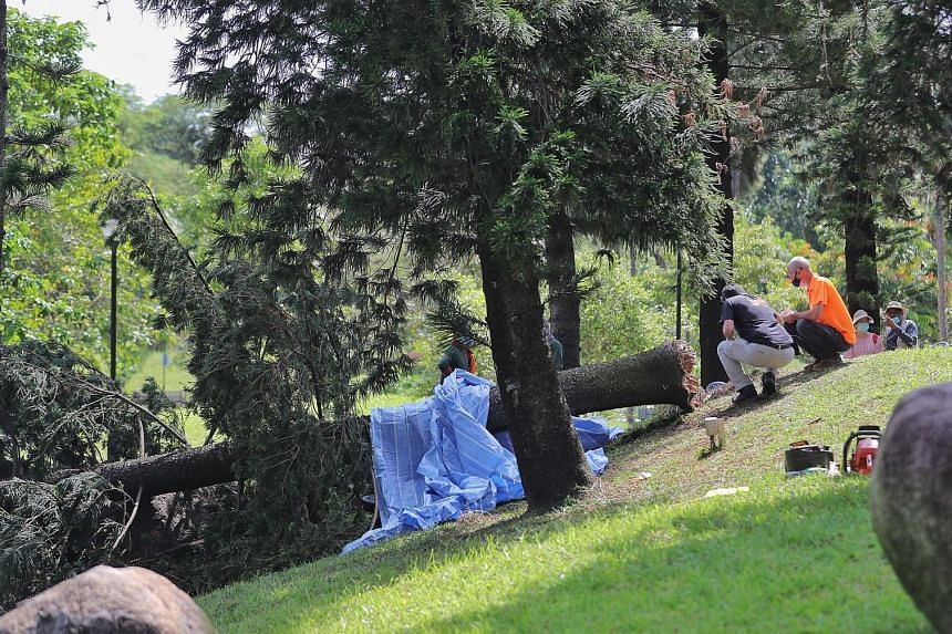 A 20m-tall tree of 1.3m girth fell at Marsiling Park yesterday morning, killing Ms Loke Xiao Li, 38, a senior technical coordinator at Channel NewsAsia. The National Parks Board said the Araucaria excelsa tree was about 20 years old and healthy when