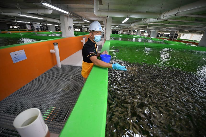 An employee at Apollo Aquaculture Group feeding a tank of giant and tiger groupers at the home-grown fish farming company's new eight-storey fish farm in Lim Chu Kang.