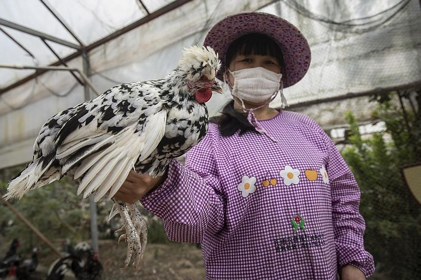Chickens in Fuxin Farm in Fujian wear Apple Watch-style bracelets supplied by Alibaba that track the number of steps they take a day, with anything below 20,000 seen as an early sign of illness. (Below) The use of smart technology in Fuxin Farm has a