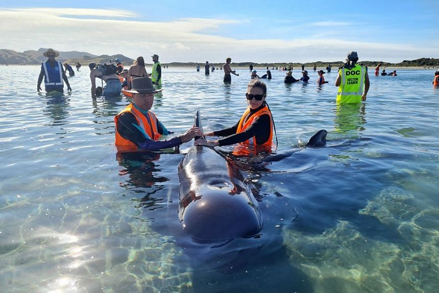 Rescuers racing to save dozens of pilot whales that beached on a stretch of New Zealand coast at Farewell Spit on Feb 22, 2021.