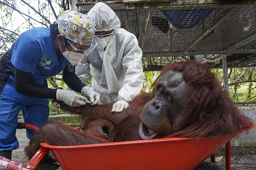 A worker releasing an orang utan into Bukit Batikap Protection Forest in the Indonesian province of Central Kalimantan on Feb 16. PHOTO: EPA-EFE The orang utans were sedated with tranquillisers (top) and placed in transport cages encased in netting b