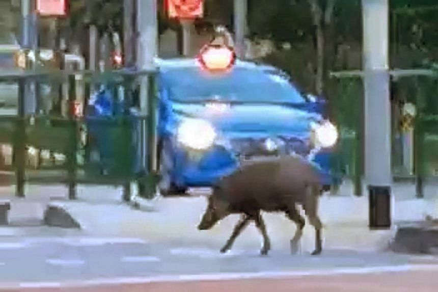 A still image from a video taken by a Shin Min reader showing a wild boar crossing a road in the Punggol Walk area on Feb 20, 2021.