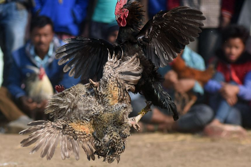 Thousands of roosters die each year in the battles which attract large crowds.