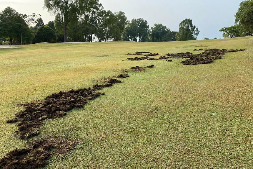 A photograph taken by the writer last week showing some of the damage caused by wild boars on a golf course fairway at Singapore Island Country Club.