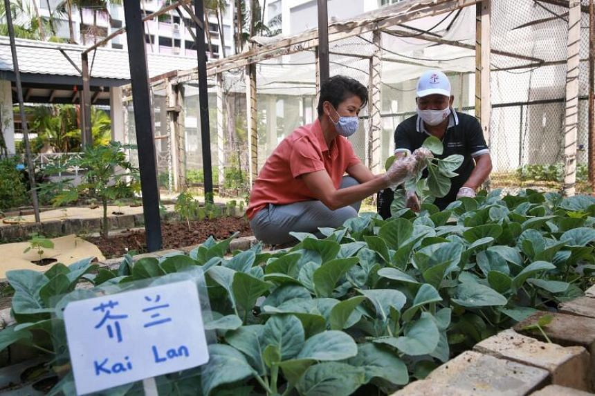 Member of Parliament for Sembawang GRC Ms Poh Li San (left) and community garden caretaker Mr Oh Kee Swee harvesting vegetables for distribution to seniors and low-income residents on Feb 28, 2021.