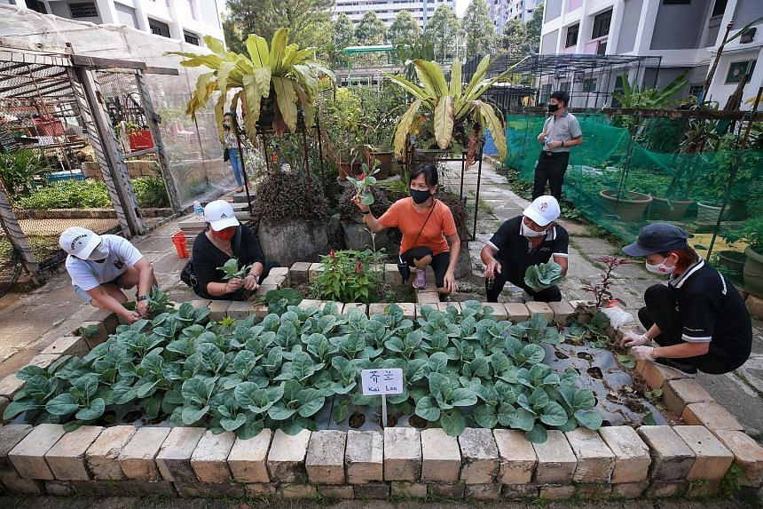 Community volunteers harvesting vegetables for distribution to needy residents in Sembawang West and Admiralty yesterday, in the first giveaway under the Sembawang GRC Gardens Give Back Project that saw 270 receive about 200kg of vegetables.