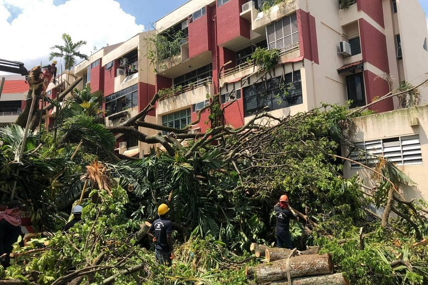 A tree believed to be over four storeys tall and at least 50 years old fell at Kismis Court condo along Toh Yi Road.