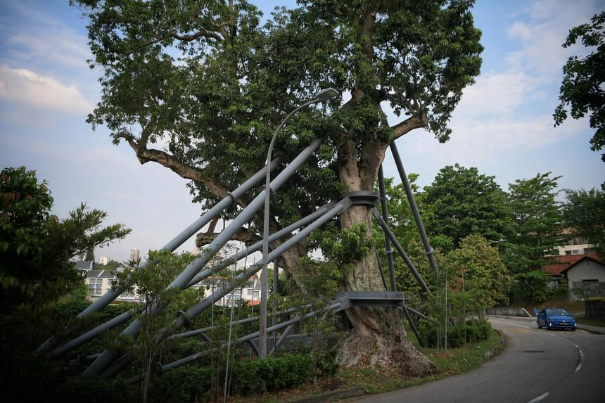A lychee tree sitting atop Mount Rosie in the Novena area is supported by a permanent galvanised steel structure built to withstand elements.