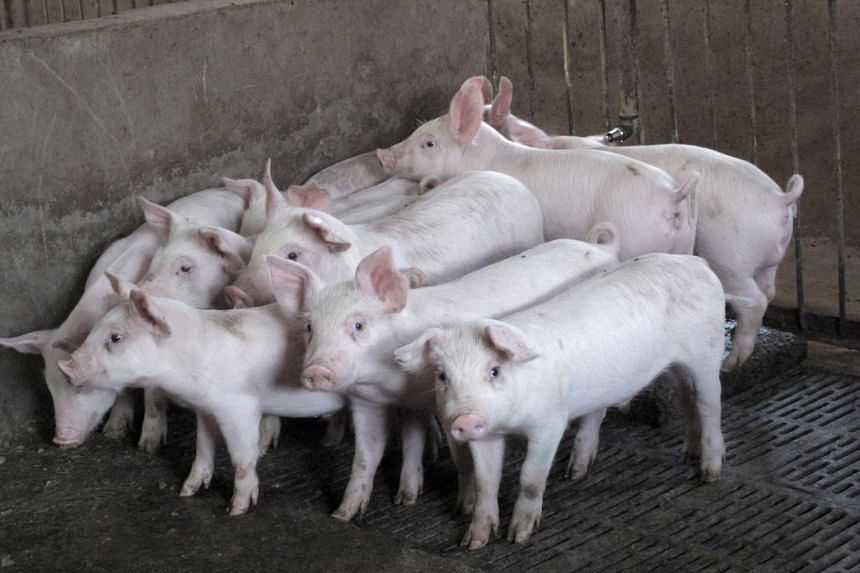 African swine fever is usually fatal to pigs.