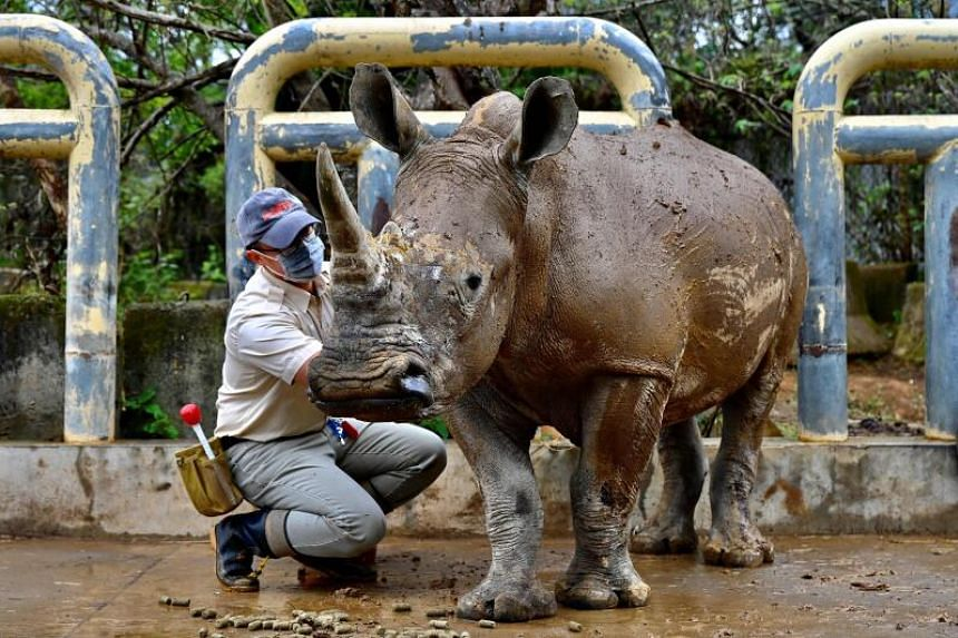 Emma will soon travel to Japan's Tobu Zoo in Saitama where a fellow rhino Moran has been lined up to be her first suitor.
