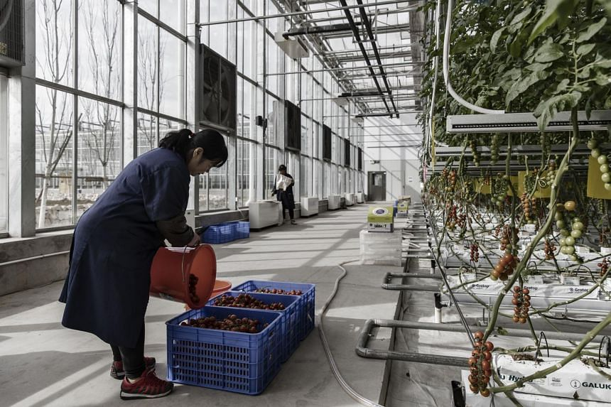 An employee inside a greenhouse at the high-tech indoor Cofco Wisdom Farm operated by Cofco Corp.