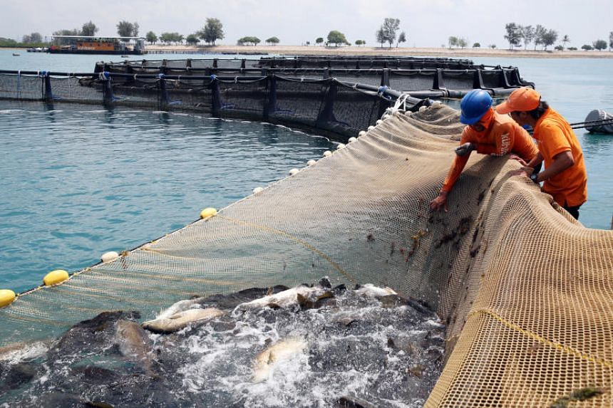 """The Singapore Food Agency announced earlier that it plans to """"unlock the potential of sea-based fish farming""""."""