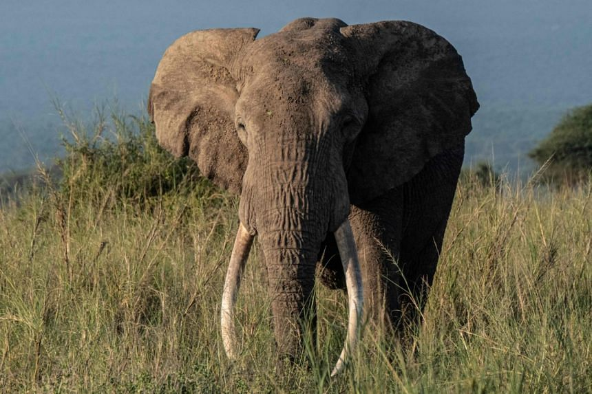 Tolstoy, a 49-year-old elephant, grazes at Kimana Sanctuary in Kimana, Kenya, on March 3, 2021.