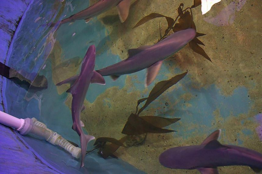 Sharks kept in a pool in Joshua Seguine's upstate New York home.