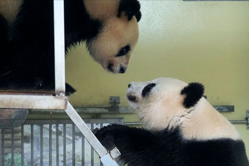 Female panda Huan Huan (left) and partner Yuan Zi meet during a mating attempt at the Beauval Zoo in Saint-Aignan, France on March 20, 2021.
