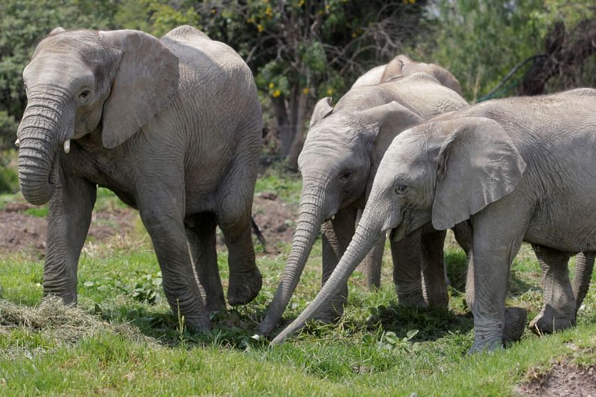 Combined, around 415,000 African elephants living in forests and savannas remain.