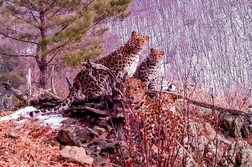 The video footage shows the feline family standing on top of a hill in the Land of the Leopard National Park.