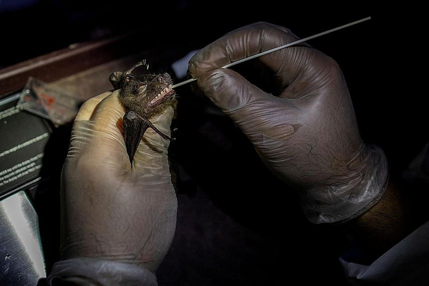 Left: Each bat is held steady by the head as a tiny swab is inserted into its mouth. The researchers are trying to find out which of the more than 1,300 species and 20 families of bats are most susceptible to infections and why. Above: Research team