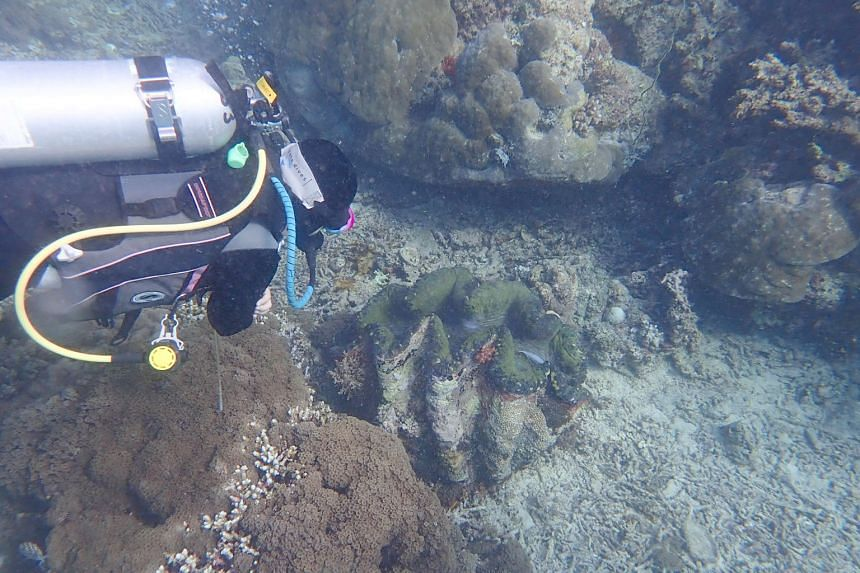 Dr Neo Mei Lin was named a marine fellow by The Pew Charitable Trusts, along with eight other scientists worldwide. Dr Neo observing a Tridacna gigas while diving in Sipadan Island, Malaysia, in 2018. A 2017 study of giant clams worldwide led by her