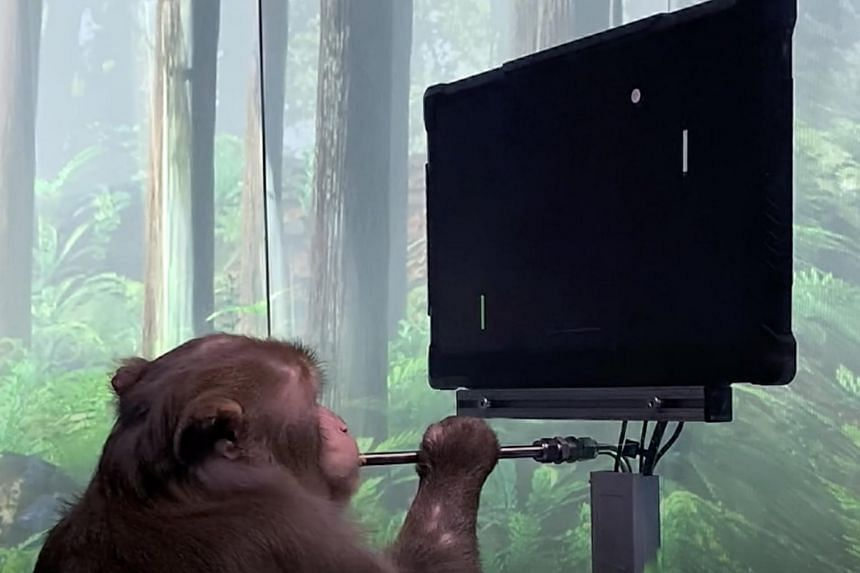 The 3-minute video by Neuralink shows Pager, a male macaque with chips embedded on each side of its brain, playing 'Mind Pong'.