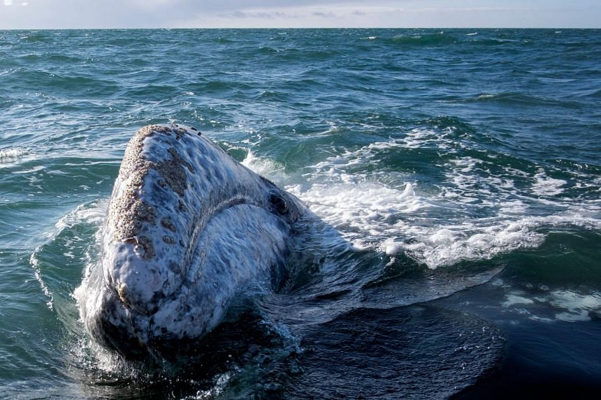 A grey whale is pictured in Mexico in March 2021.