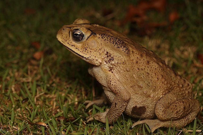 The Asian common toad (Duttaphrynus melanostictus) is often found as roadkill here. The Herpetological Society of Singapore initiative could help highlight the susceptibility of such animals to vehicle collisions.